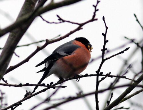 Skal fuglene fodres om vinteren?
